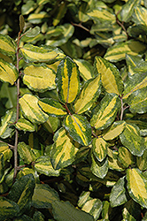Variegated Silverberry (Elaeagnus pungens 'Maculata') at Squak Mountain Nursery