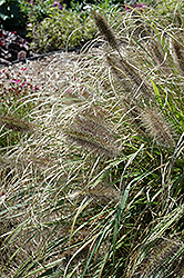Ginger Love Fountain Grass (Pennisetum alopecuroides 'Ginger Love') at Squak Mountain Nursery