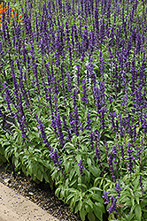 Victoria Blue Salvia (Salvia farinacea 'Victoria Blue') at Squak Mountain Nursery