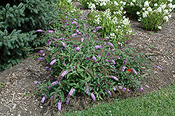Flutterby® Lavender Butterfly Bush (Buddleia davidii 'Podaras 11') at Squak Mountain Nursery
