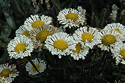 Real Neat Shasta Daisy (Leucanthemum x superbum 'Real Neat') at Squak Mountain Nursery