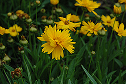 Sun Up Tickseed (Coreopsis grandiflora 'Sun Up') at Squak Mountain Nursery