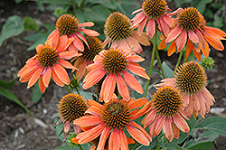 Sombrero® Adobe Orange Coneflower (Echinacea 'Balsomador') at Squak Mountain Nursery