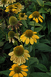 Sombrero® Lemon Yellow Coneflower (Echinacea 'Balsomemy') at Squak Mountain Nursery