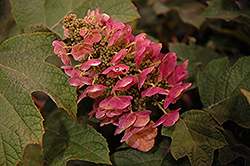 Ruby Slippers Hydrangea (Hydrangea quercifolia 'Ruby Slippers') at Squak Mountain Nursery