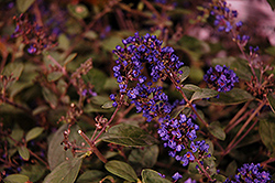 Lo And Behold® Blue Chip Junior Dwarf Butterfly Bush (Buddleia 'Lo And Behold Blue Chip Junior') at Squak Mountain Nursery