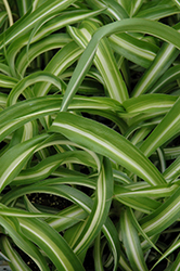 Variegated Spider Plant (Chlorophytum comosum 'Variegatum') at Squak Mountain Nursery
