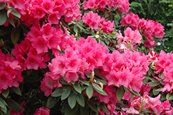 Anna Rose Whitney Rhododendron (Rhododendron 'Anna Rose Whitney') at Squak Mountain Nursery
