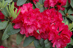 Trilby Rhododendron (Rhododendron 'Trilby') at Squak Mountain Nursery