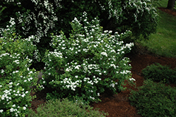 Tor Spirea (Spiraea betulifolia 'Tor') at Squak Mountain Nursery