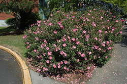 Purple Rockrose (Cistus x purpureus) at Squak Mountain Nursery