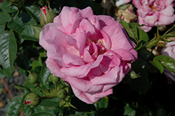 Cape Diamond Rose (Rosa 'Cape Diamond') at Squak Mountain Nursery