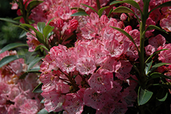 Tiddlywinks Mountain Laurel (Kalmia latifolia 'Tiddlywinks') at Squak Mountain Nursery