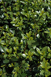 Green Island Japanese Holly (Ilex crenata 'Green Island') at Squak Mountain Nursery