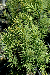 H.M. Eddie Yew (Taxus x media 'H.M. Eddie') at Squak Mountain Nursery