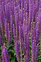 East Friesland Sage (Salvia nemorosa 'East Friesland') at Squak Mountain Nursery