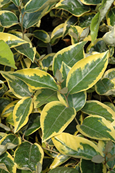 Gilt Edge Silverberry (Elaeagnus x ebbingei 'Gilt Edge') at Squak Mountain Nursery