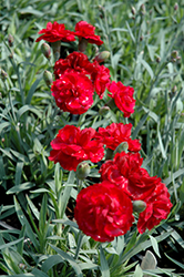 Early Bird™ Radiance Pinks (Dianthus 'Wp08 Mar05') at Squak Mountain Nursery