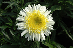 Real Dream Shasta Daisy (Leucanthemum x superbum 'Real Dream') at Squak Mountain Nursery