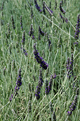 Goodwin Creek Gray Lavender (Lavandula x ginginsii 'Goodwin Creek Gray') at Squak Mountain Nursery