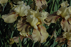 Thornbird Iris (Iris 'Thornbird') at Squak Mountain Nursery