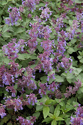 Felix Catmint (Nepeta x faassenii 'Felix') at Squak Mountain Nursery