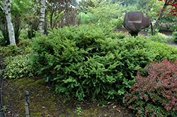 Taunton's Yew (Taxus x media 'Tauntonii') at Squak Mountain Nursery