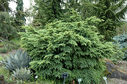 Elizabeth Mountain Hemlock (Tsuga mertensiana 'Elizabeth') at Squak Mountain Nursery