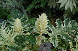 Whitewater Acanthus (Acanthus 'Whitewater') at Squak Mountain Nursery