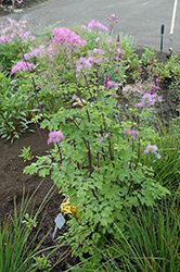 Black Stockings Meadow Rue (Thalictrum 'Black Stockings') at Squak Mountain Nursery