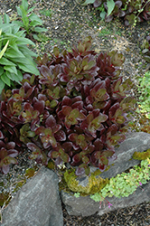 Chocolate Drop Stonecrop (Sedum 'Chocolate Drop') at Squak Mountain Nursery