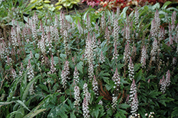 Pink Skyrocket Foamflower (Tiarella 'Pink Skyrocket') at Squak Mountain Nursery
