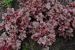 Berry Marmalade Coral Bells (Heuchera 'Berry Marmalade') at Squak Mountain Nursery