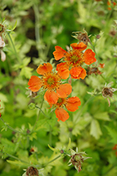 Sunkissed Lime Avens (Geum 'Sunkissed Lime') at Squak Mountain Nursery