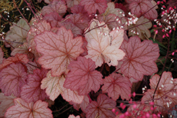Georgia Peach Coral Bells (Heuchera 'Georgia Peach') at Squak Mountain Nursery