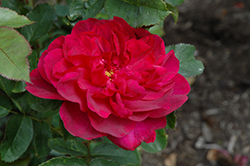 Darcey Bussell Rose (Rosa 'Darcey Bussell') at Squak Mountain Nursery