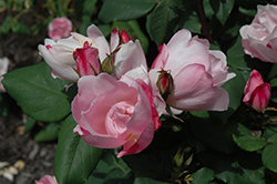 Blushing Knock Out® Rose (Rosa 'Radyod') at Squak Mountain Nursery