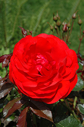 Trumpeter Rose (Rosa 'Mactru') at Squak Mountain Nursery