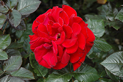 Drop Dead Red Rose (Rosa 'Drop Dead Red') at Squak Mountain Nursery