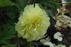 Yumi Peony (Paeonia 'Beauty') at Squak Mountain Nursery