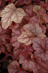 Copper Cascade™ Foamy Bells (Heucherella 'Copper Cascade') at Squak Mountain Nursery