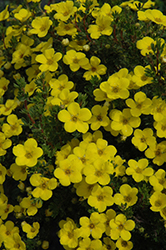 Gold Drop Potentilla (Potentilla fruticosa 'Gold Drop') at Squak Mountain Nursery