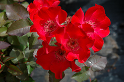 Screaming Neon Red™ Rose (Rosa 'BAIneon') at Squak Mountain Nursery