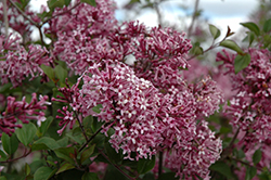 Bloomerang® Purple Lilac (Syringa 'Penda') at Squak Mountain Nursery