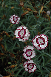 Raspberry Swirl Pinks (Dianthus 'Devon Siskin') at Squak Mountain Nursery