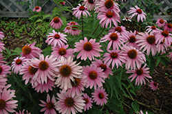 Magnus Superior Coneflower (Echinacea purpurea 'Magnus Superior') at Squak Mountain Nursery