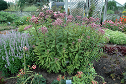 Baby Joe Dwarf Joe Pye Weed (Eupatorium dubium 'Baby Joe') at Squak Mountain Nursery