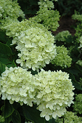 Little Lime® Hydrangea (Hydrangea paniculata 'Jane') at Squak Mountain Nursery