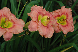 Elegant Candy Daylily (Hemerocallis 'Elegant Candy') at Squak Mountain Nursery