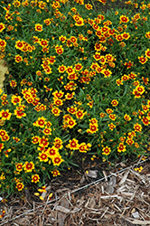 Lil' Bang™ Daybreak Tickseed (Coreopsis 'Daybreak') at Squak Mountain Nursery